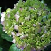 Lime-green Hydrangea Poster