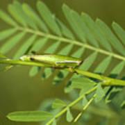 Linear Winged Grasshopper Poster