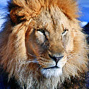 Lion 09 Poster