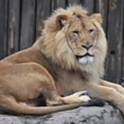 Lion 2 Poster