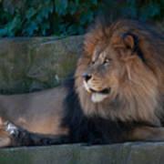 Lion 3 Poster