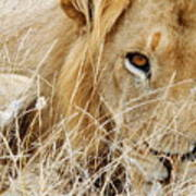 Lion Considering Irish Tartare Poster