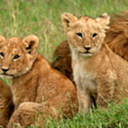 Lion Cubs - Too Cute Poster by Nancy D Hall