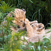 Lion Cubs At Play Poster