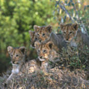 Lion Cubs Awaiting Mom Poster