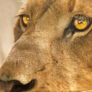 Lion Face Poster