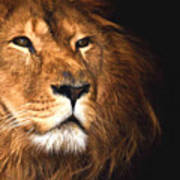 Lion Head Oil Painting Poster
