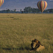 Lion Ignores Balloons Poster