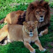 Lion Pair Poster