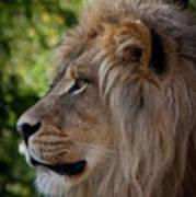 Lion Portrait Of A Leader Poster