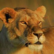 Lioness At Maasai Sunet Poster