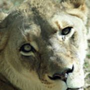 Lioness Up Close Poster