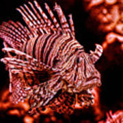 Lionfish Of The Sea Poster
