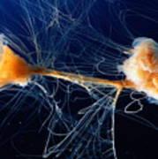 Lions Mane Jellyfish Cyanea Capillata Poster