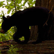 Little Black Bear Poster