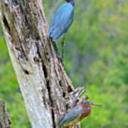 Little Blue And Green Heron Poster