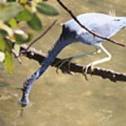 Tricolored Heron Fishing Poster