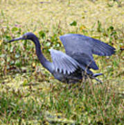 Little Blue Heron Walking In The Swamp Poster
