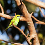 Little Green Bee Eater On A Branch Poster