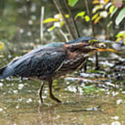 Little Green Heron With Fish Poster