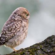 Little Owl Chick Practising Hunting Skills Poster