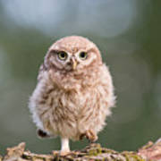Little Owl Chick Poster