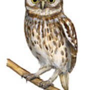 Little Owl Or Minerva's Owl Athene Noctua - Goddess Of Wisdom- Chouette Cheveche- Nationalpark Eifel Poster