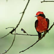 Little Red Beauty - Vermilion Flycatcher Poster