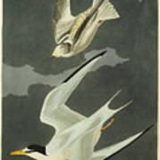 Little Tern Poster