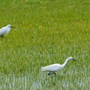 Little White Egret Poster
