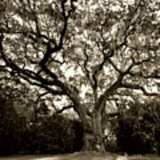 Live Oak Tree With Spanish Moss Poster