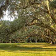 Live Oak Trees Sunrise Poster