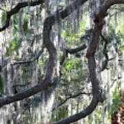 Live Oak With Spanish Moss And Palms Poster