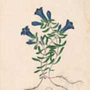Liverpool Gentian With One Insect Poster