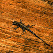 Lizard On Sandstone Poster