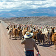 Llama Herd On Road Poster