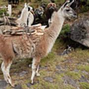 Llamas Carrying Firewood Poster