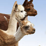 Llama's Three Poster