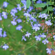 Lobelia Flowers Poster