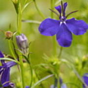 Lobelia On A Brilliant Spring Day Poster