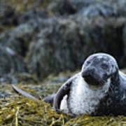 Loch Dunvegan's Harbor Seal Poster