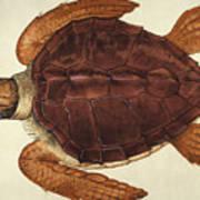 Loggerhead Turtle, 1585 Poster