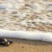 Loggerhead Turtle Hatchling 3 Delray Beach Florida Poster