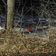 Lone Cardinal Poster