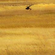 Lone Elk In Field Poster