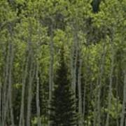 Lone Evergreen Amongst Aspen Trees Poster