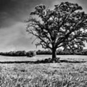 Lone Oak Tree In Black And White Poster