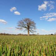 Lone Oak Tree In Wheat Field Poster