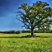 Lone Oak Tree In Wisconsin Field Poster