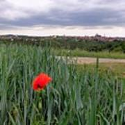 Lone Poppy Amongst Field Of Hops Poster